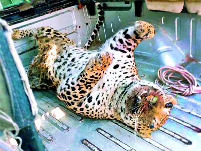 The body of the leopard rattled the area | बिबट्याच्या मृतदेहाने परिसरात खळबळ