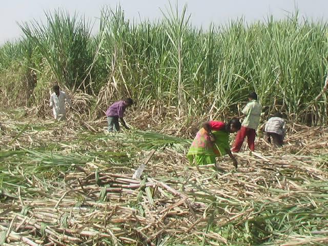 Discussions between Sugarcane Workers Union and Sugar Union failed; Now the ball is in the state government's court | ऊसतोडणी कामगार संघटना व साखर संघ मधील चर्चा फिस्कटली; आता चेंडू राज्य सरकारच्या कोर्टात