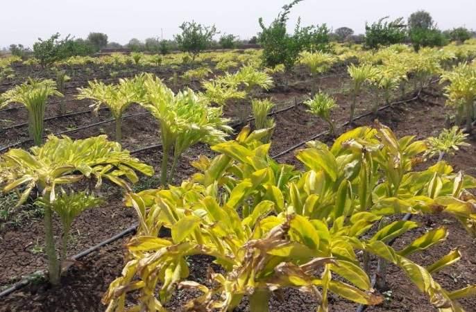 Three lakhs of turmeric crop taken on farmland | शेततळ््यावर घेतले तीन लाखांचे हळदीचे पीक