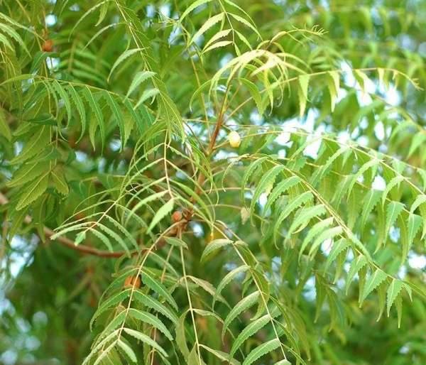 Research on three Neem plants from Wardha | वर्ध्यात कडूनिंबाच्या तीन रोपट्यांवर होतेय संशोधन