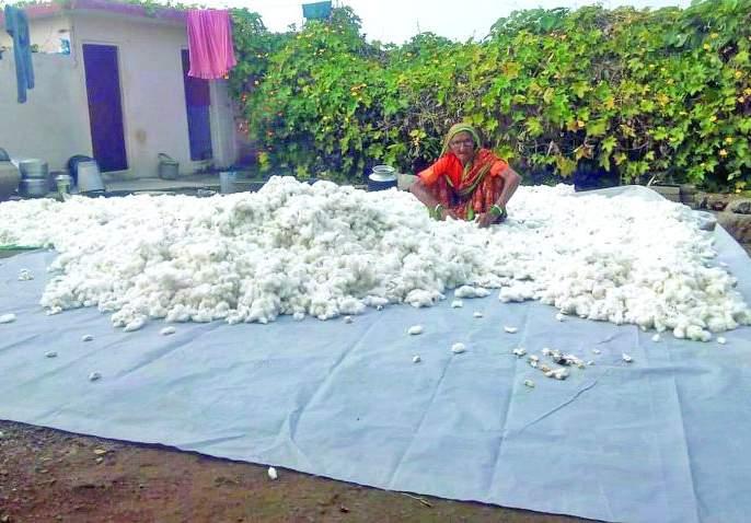 Farmers struggle to dry wet cotton | शेतकऱ्यांची ओला कापूस वाळविण्यासाठी धडपड