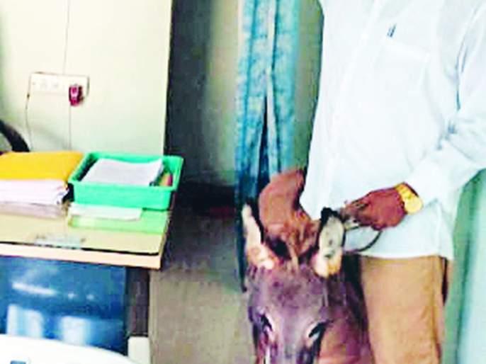 The donkey was taken to the construction department office | बांधकाम विभागाच्या कार्यालयात नेले गाढव