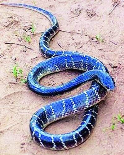 The snake can be avoided by alertness | सतर्कतेने टाळता येईल सर्पदंश