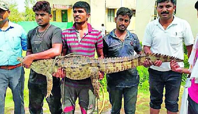 After all, the success of capturing a crocodile | अखेर मगराला पकडण्यात यश
