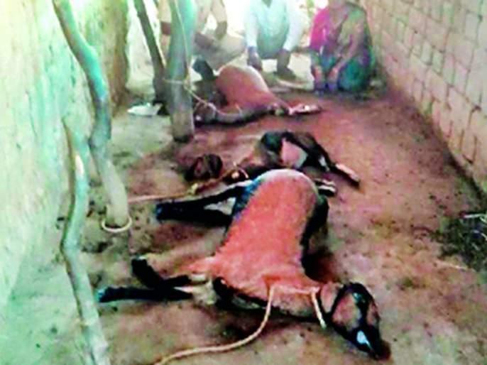 Three goats and a male goat   बिबट्याने फस्त केल्या तीन शेळ्या आणि एक बोकड