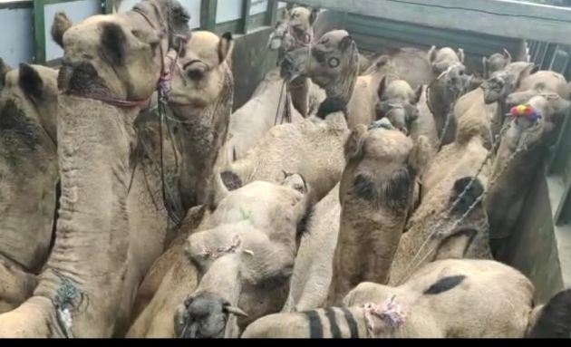 Illegal transport of camels from Rajasthan | राजस्थानमधून उंटांची अवैध वाहतूक