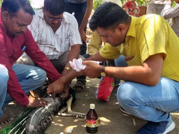 Molar's death from a dog attack | कुत्र्यांच्या हल्ल्यातून मोराला जीवदान