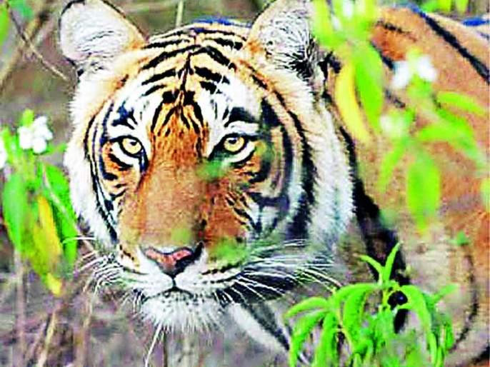 Tiger appeared in Ummirihirat deadly calf killer | व्याघ्र दर्शनाने उमरविहिरात दहशत वासरू ठार