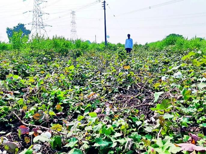 Rutgers ruined cotton | रानडुकरांनी केली कपाशीची नासाडी