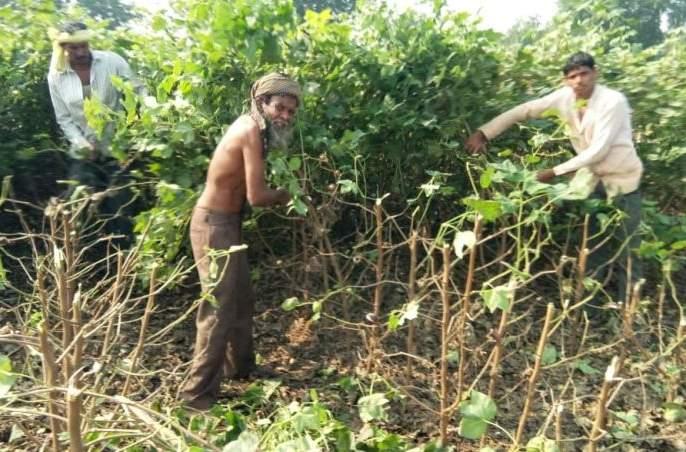 Bollworm attack on cotton crop; farmer destroy crop at Akola district | बोंडअळीने आक्रमण केल्याने १४ एकरातील पऱ्हाटी कापली!