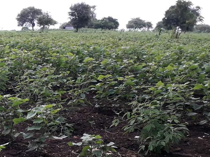 Parbhani: Rainfall is expected for the crops grown in the taluka | परभणी : तालुक्यात बहरलेल्या पिकांना पावसाची आस