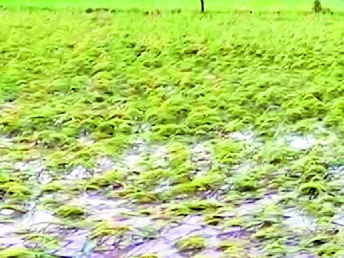 The 'beautiful' paddy was ugly due to floods | 'सुंदर' धान पुरामुळे झाले कुरुप