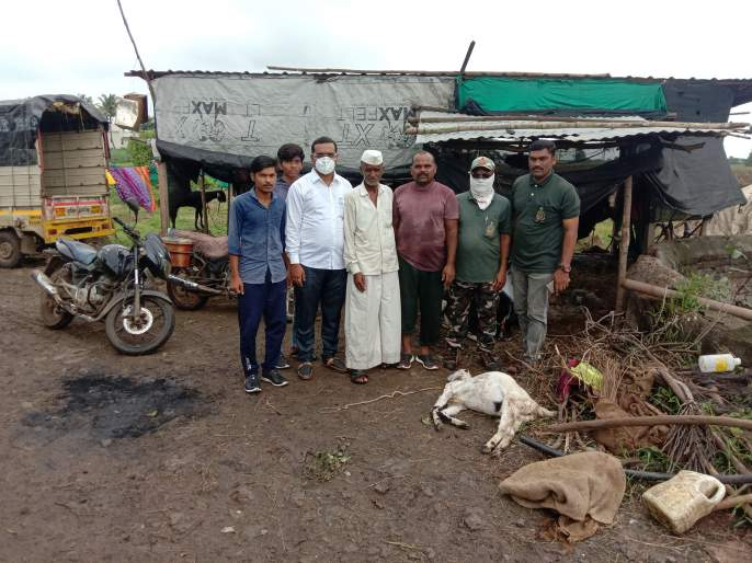 Goat killed in leopard attack at Konkangaon   कोकणगाव येथे बिबट्याच्या हल्ल्यात शेळी ठार