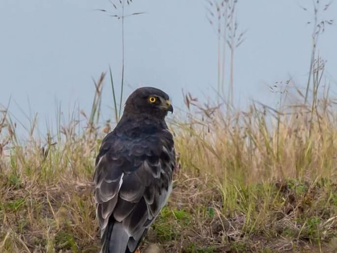 The birds of prey in Russia, Korea, Philippines, China, Solapur | रशिया, कोरिया, फिलिपाईन्स, चीन देशातील शिकारी पक्षी सोलापुरात