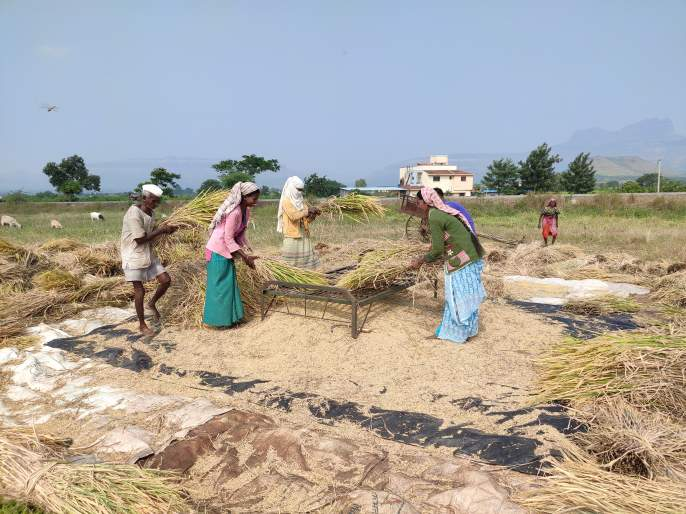 Beginning to harvest paddy fields | भात शेतीच्या कापणीला सुरूवात