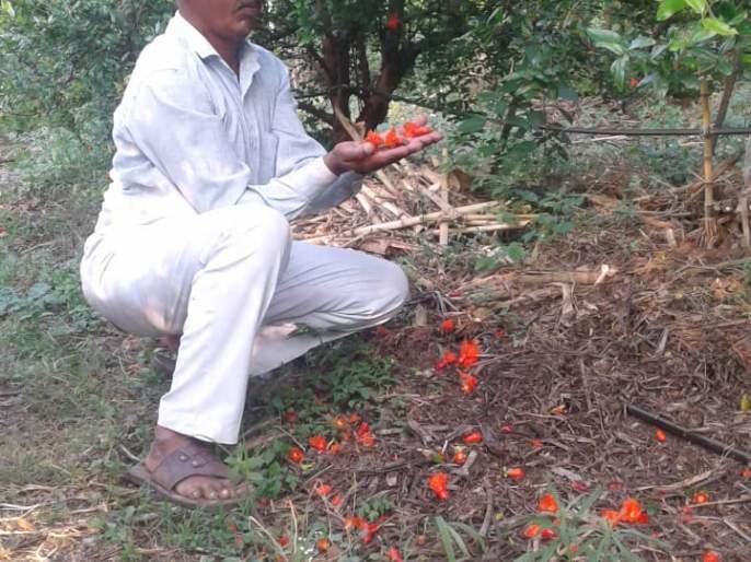 6 acres of pomegranate garden in danger! | ७५० एकरवरील डाळींब बागा धोक्यात !
