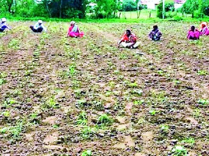 After the continuous rains, now the weeding costs of the farm increased | सततच्या पावसानंतर आता शेतीच्या निंदण खर्चात वाढ