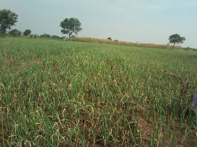 Onion crops are threatened by cloudy weather | ढगाळ वातावरणामूळे कांदा पिके धोक्यात