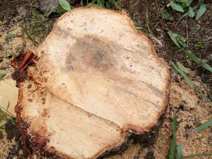 Trafficking of sandalwood trees at Nirpur | निरपूर येथे चंदनाच्या झाडांची तस्करी