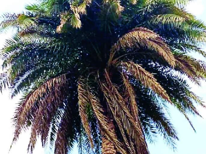 Shrimp tree rare; Fat, difficulty with huts | शिंदोल्यांचे झाड दुर्मिळ; चटया, झापड्यांची अडचण
