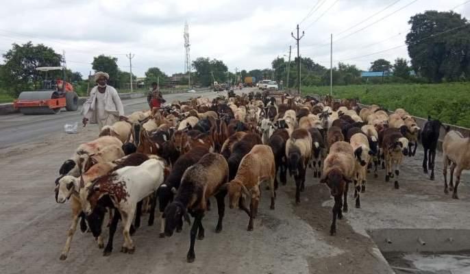 Shepherd found in trouble with corona infection | कोरोना संसर्गाने मेंढपाळ सापडले अडचणीत