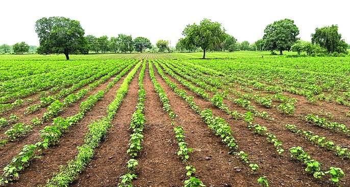 Rain come back in buldhana district; Support for crops | पावसाच्या पुनरागमनाचा पिकांना मिळाला आधार!