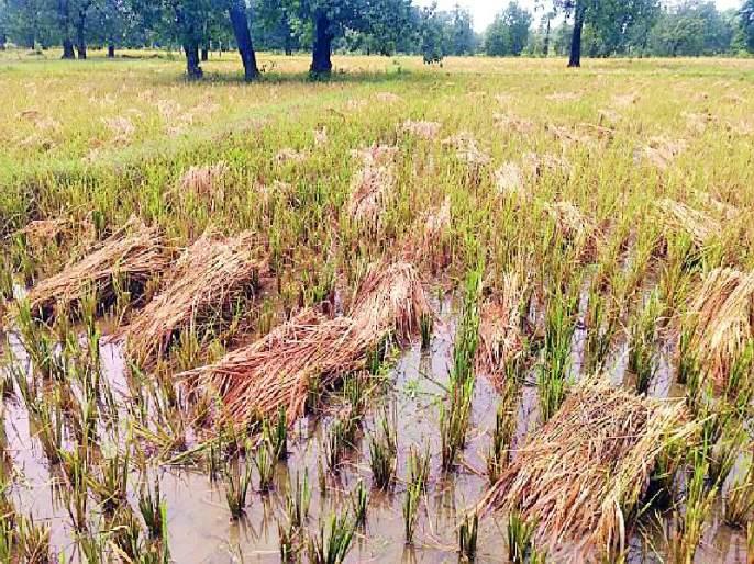 - rain | अवकाळी पावसाचा हलक्या धानाला फटका