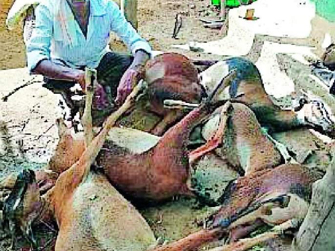 15 goats killed by toxicity | विषबाधेने १५ शेळ्या दगावल्या