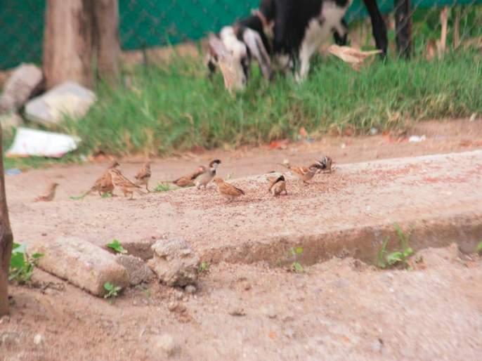 The decreasing number of birds is due to spraying the drug on the crop | पिकांवरील औषध फवारणीमुळे पक्ष्यांची घटतेय संख्या