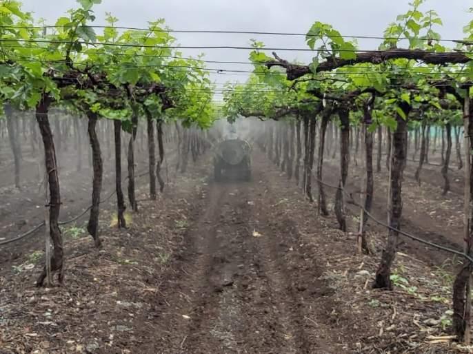 Grape growers worried about incessant rains   संततधार पावसाने द्राक्ष उत्पादक चिंतित