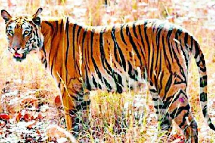 Terror of tigers in Sankarkwada taluka | पांढरकवडा तालुक्यात वाघाची दहशत
