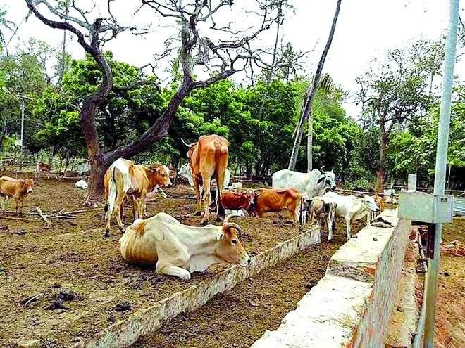 Why are not fodder camps in Vidarbha? | विदर्भात चारा छावण्या का नाहीत?