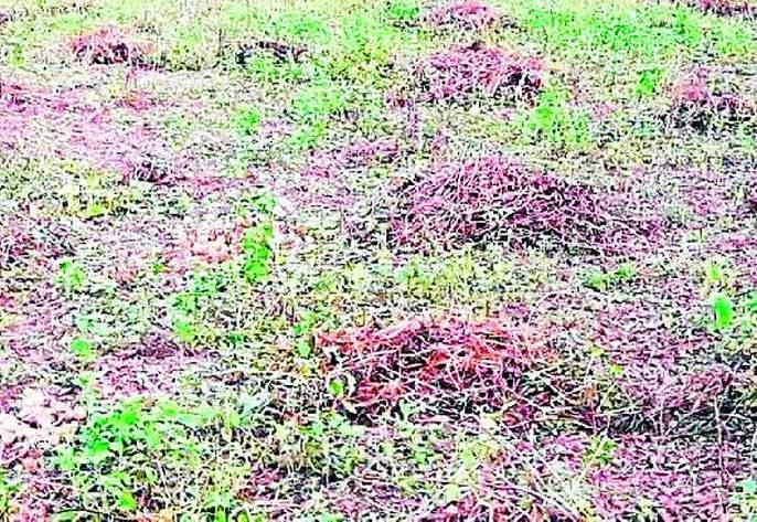 Soybean growers in the dark of Diwali | सोयाबीन उत्पादकांची दिवाळी अंधारात