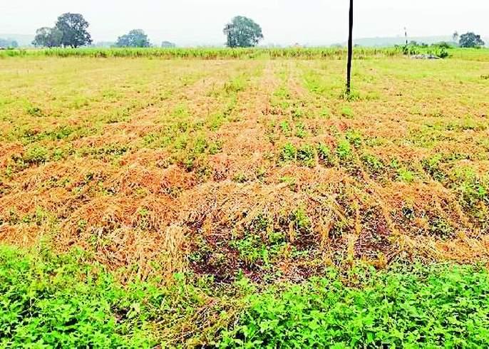 Soybean custard with return rains | परतीच्या पावसाने सोयाबीन गारद