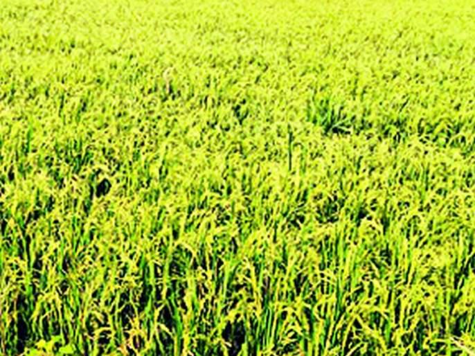 Cloudy weather lost a Rice   ढगाळ वातावरणाचा धानाला फटका