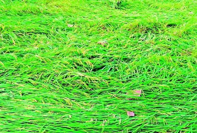 Loss of farmers in Tumsar, Mohadi, Pawani   तुमसर, मोहाडी, पवनीत शेतकऱ्यांचे नुकसान