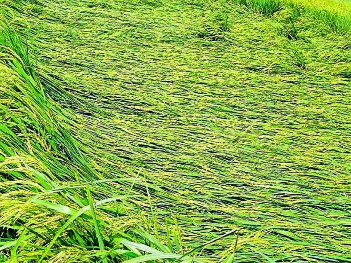 Heavy rains hit crops   वादळी पावसाचा पिकांना फटका