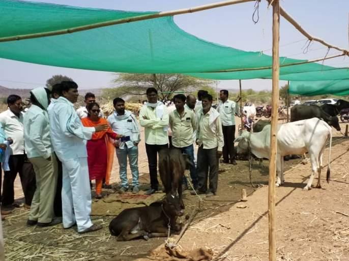 The Tehsildar, the circle officials visited the Kingaon Fodder camp | तहसीलदार, मंडळ अधिकाऱ्यांची किनगाव चारा छावणीला भेट
