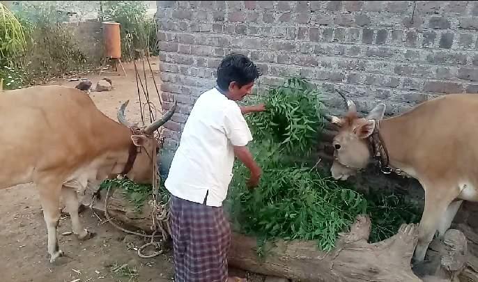 Neemgava animals bring neem cake | नांदगावला जनावरांना कडुनिंबाचा पाला