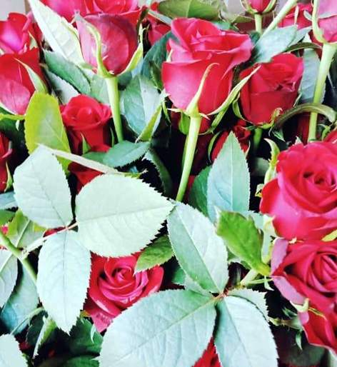 Parbhani: Shirdi Rose will be expensive on Dussehra Muharta   परभणी : दसरा मुहुर्तावर शिर्डी गुलाब महागणार