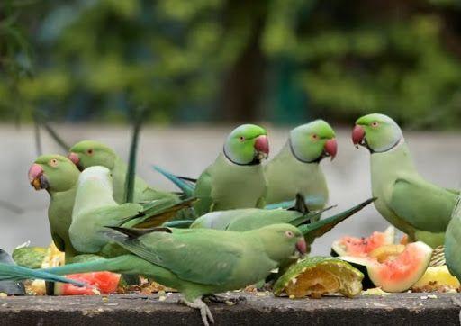 In Gadchiraeli city, pigeons and pigeons are also affected | बर्ड फ्ल्यू ; गडचिराेली शहरात काेंबड्यांसह पाेपट, कबुतरांवरही संक्रांत