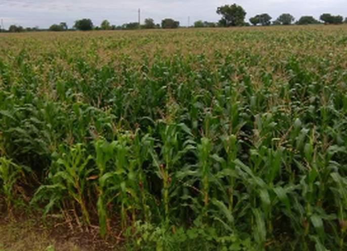 Thousands of hectares of crops are in danger | हजारो हेक्टरवरील पिके धोक्यात