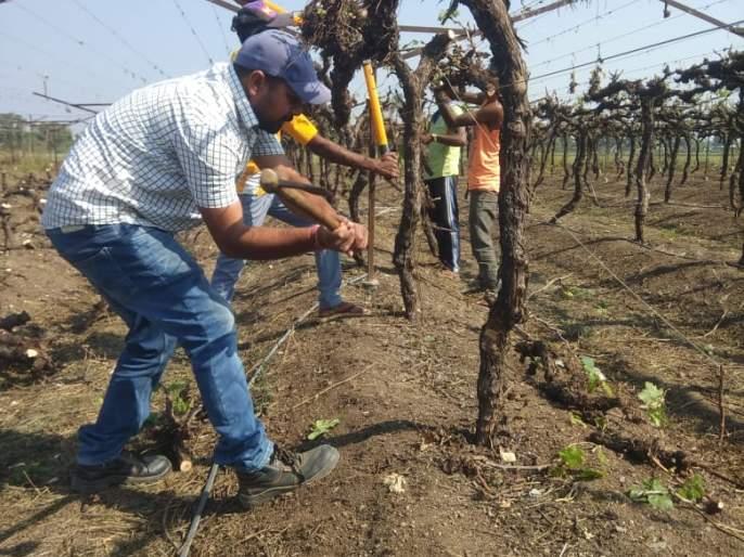 The farmer of Brahmangaon broke the vineyard   ब्राह्मणगावच्या शेतकऱ्याने तोडली द्राक्षबाग