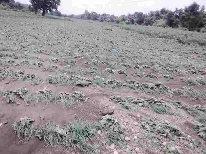 The crops are harvested in Umtala, Dhrad Shiva   उमाळे, धानवड शिवारात पिके गेले वाहून