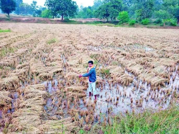 Untimely rains hit harvested grain | अवकाळी पावसाचा कापणी झालेल्या धानाला फटका