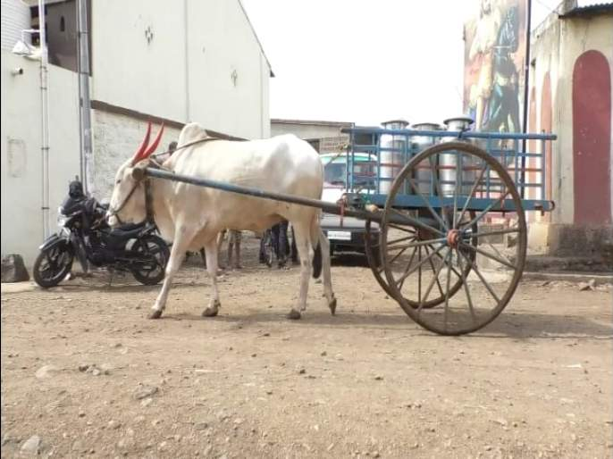 Gold is just transporting milk without the owner   मालकाविना एकटाच दूध वाहतूक करतोय सोन्या