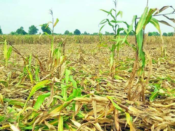 Damage to crops on ten thousand hectares due to heavy rains | अतिवृष्टीमुळे दहा हजार हेक्टरवरील पिकांचे नुकसान