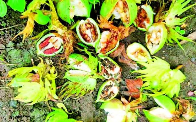 Outbreak of bollworm in Wani sub-division | वणी उपविभागात बोंडअळीचा उद्रेक