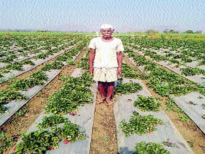Strawberries stir up tribal farmers | स्ट्रॉबेरीमुळे आदिवासी शेतकऱ्यांना उभारी