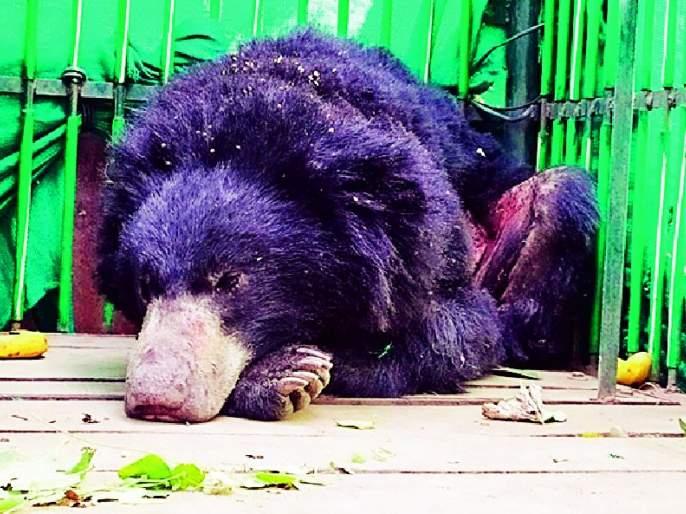 Injured bear came into the fire | जामनीत आले जखमी अस्वल